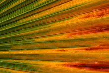 Close Up Of Palm Tree Leaf Texture With Tones Of Orange And Red/tropical Natural Background