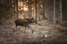 Moose Walking In Forest