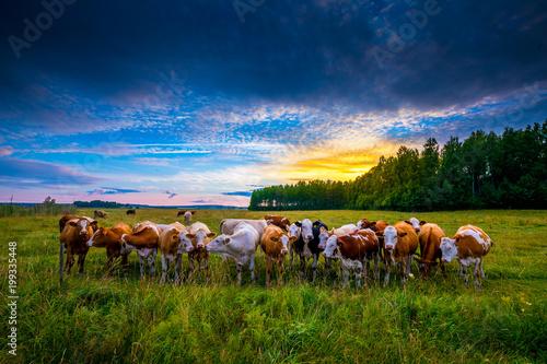 Fototapeta The Cattle Gang obraz