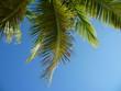Jamaican Palm Tree