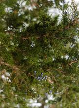 Detail Of Red Cedar