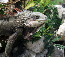 Iguana Eating Locust Leaves, S...