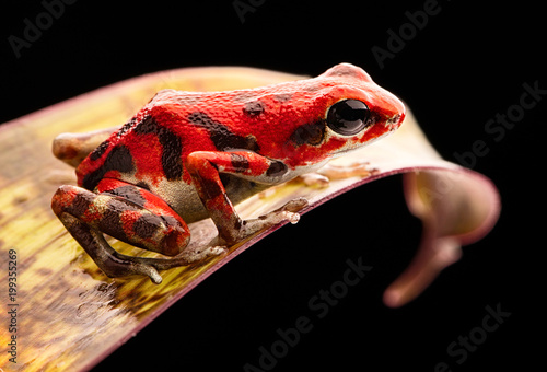 red strawberry poison dart frog Panama rain forest