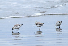 Three Sanderling Birds Looking For Food On Del Ray Beach North Of Seaside, Oregon.