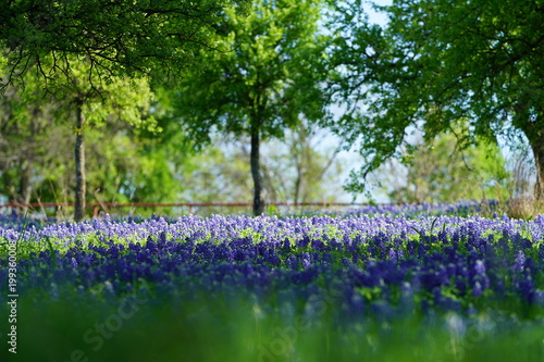 Papiers peints Jardin Bluebonnet flowers blooming during spring time near the Texas Hill Country