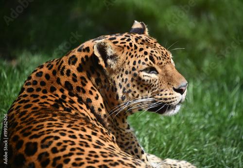 Keuken foto achterwand Luipaard leopardo