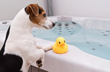 Adorable Dog Jack Russell Is Going To Take Bath Together With Small Rubber Yellow Duck. Pet Care And Health Concept