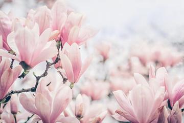Magnolija cvjeta na jutarnjem svjetlu. Pastelne boje