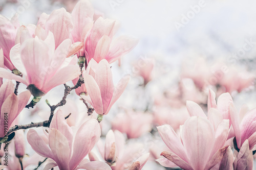 Magnolia flowers in the morning light. Pastels colors