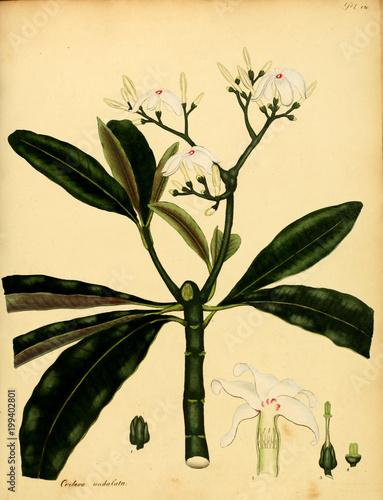 Fototapety, obrazy: Illustration of the plant.