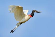 Brazil Bird Fly. Jabiru, Jabir...
