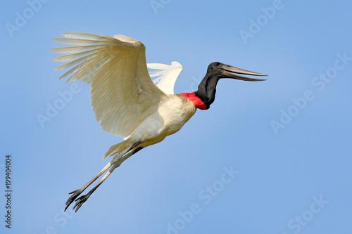 Fotografija  Brazil bird fly