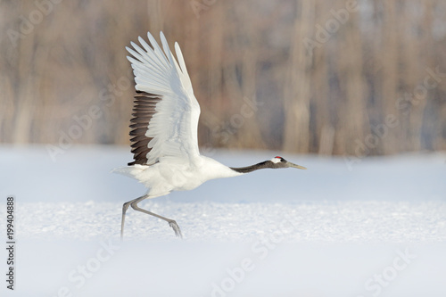 Start Red-crowned crane in snow meadow, with snow storm, Hokkaido, Japan Canvas Print
