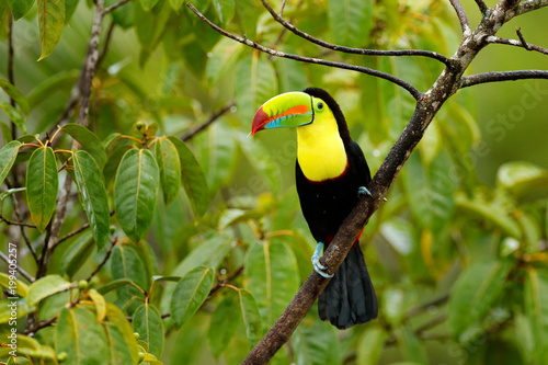 In de dag Toekan Toucan sitting on the branch in the forest, green vegetation, Panama. Nature travel in central America. Keel-billed Toucan, Ramphastos sulfuratus, bird with big bill. Wildlife Panama.