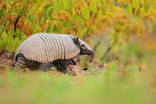 Six-Banded Armadillo, Yellow A...