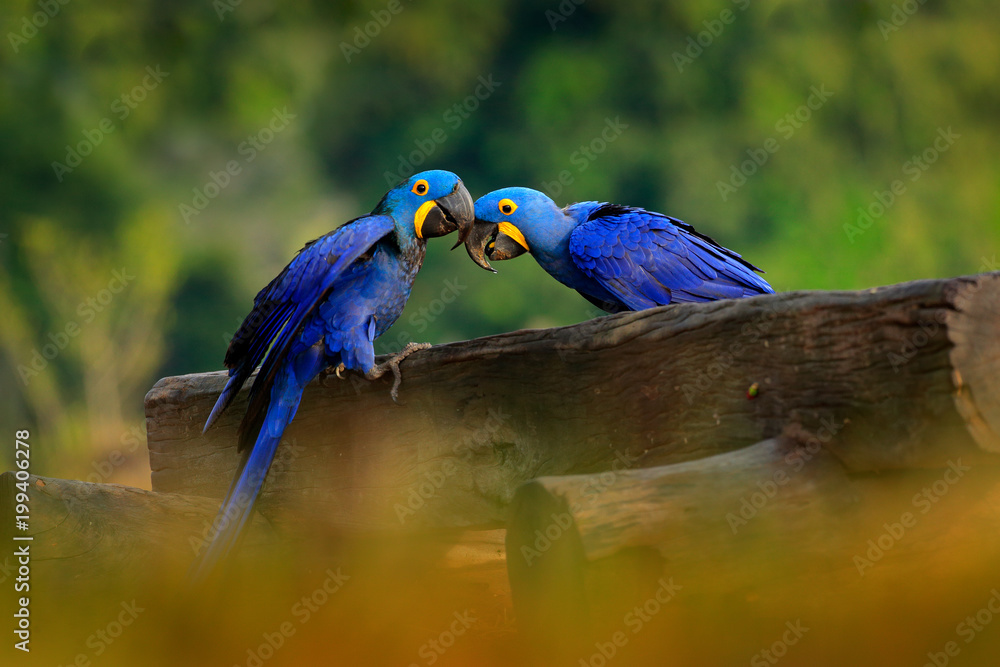 Two Hyacinth Macaw, Anodorhynchus hyacinthinus, blue parrot. Portrait big blue parrot, Pantanal, Brazil, South America. Beautiful rare bird in the nature habitat. Wildlife Brazil, macaw wild nature.