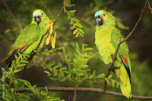 Two Parrots, razil in habitat. Turquoise-fronted amazon, Amazona aestiva, portrait of light green pair parrot with red head, Costa Rica. Flight bird. Wildlife fly scene from tropic nature, Pantanal.