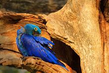 Blue Macaw Tree Nest. Nesting ...