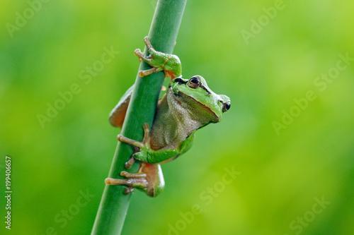 Fototapeta premium Rzekotka drzewna, Hyla arborea, siedzi na słomie trawy z jasnym zielonym tłem. Ładny zielony płaz w naturalnym środowisku. Dzika żaba na łące w pobliżu rzeki, siedlisko.