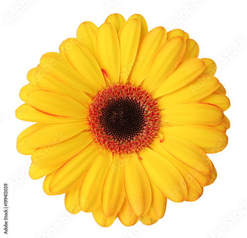 Wonderful yellow Gerbera (Asteraceae) isolated on white background, including clipping path.