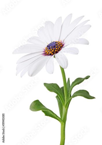 Wonderful white Daisy (Marguerite, Bornholmmargerite) isolated on white background