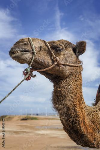 Deurstickers Kameel Camels in freedom on the beach