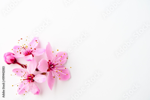 Obraz Vivid pnk cherry blossom on white background. Negative space. - fototapety do salonu