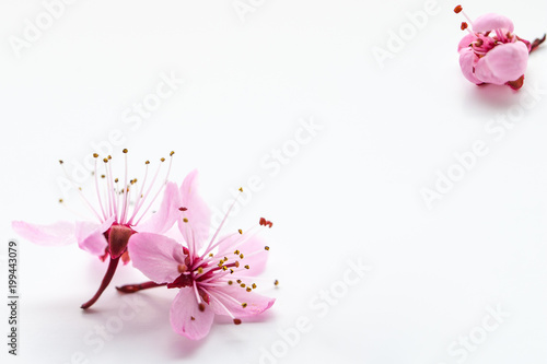 Vivid pnk cherry blossom on white background. Negative space.
