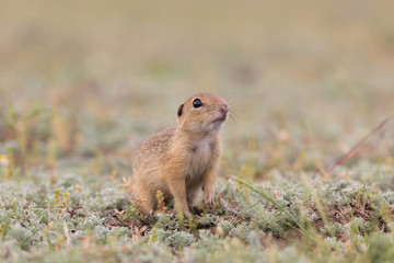 Naklejka na ściany i meble Cute European ground squirrel standing and watching on a field of green grass,Spermophilus citellus
