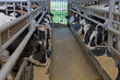 Veal calves in stable. Cattle. Cows