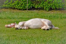 Bequtiful White Horse Sleeping...