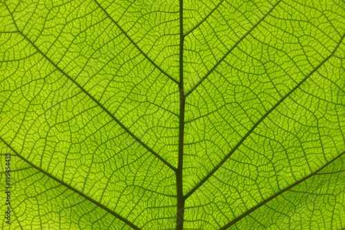 Fototapeta Extreme close up texture of green leaf veins obraz na płótnie