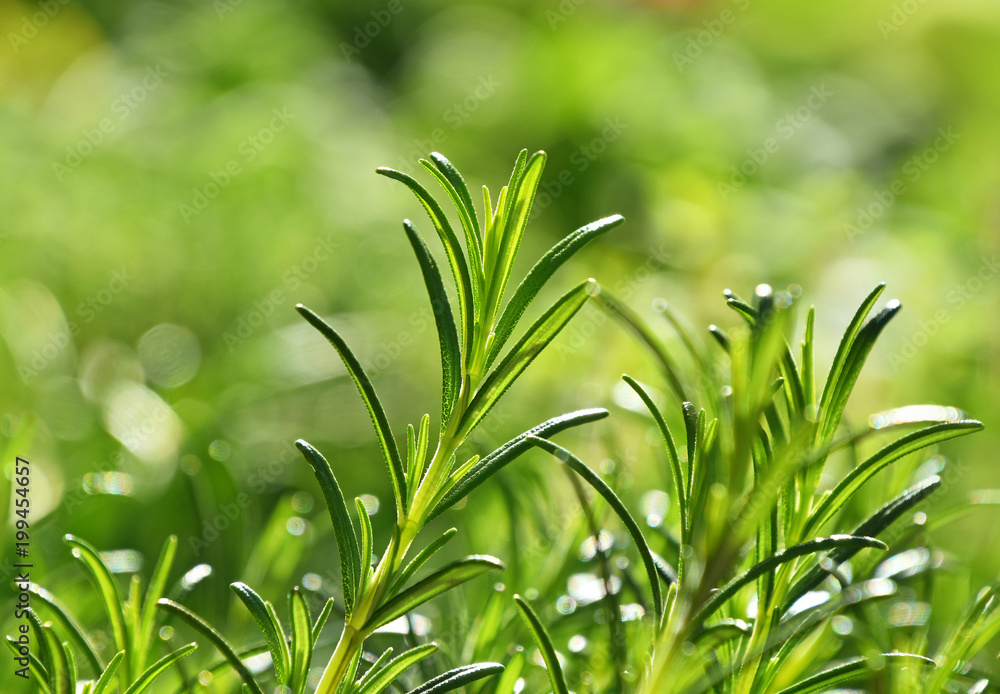 Fototapety, obrazy: Green fresh rosemary spicy herb sprouts