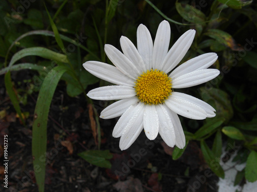 Close Up Of Daisy Flower With Dew On Darker Background Buy This