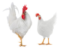 White Rooster Isolated