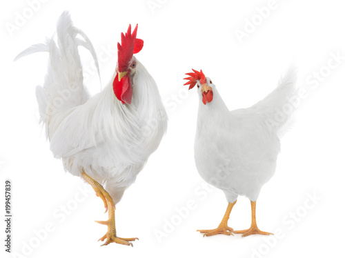Cadres-photo bureau Poules white rooster isolated