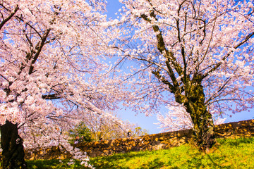 Panel Szklany Drzewa japanse sakura in kyoto japan