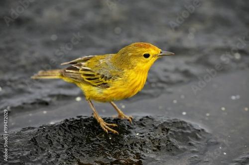 Leinwand Poster Galapagos Yellow Warbler