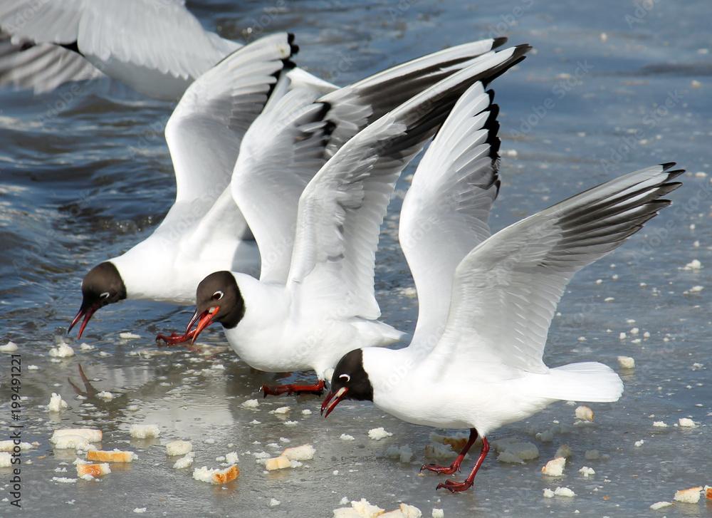 Black-headed gulls (Chroicocephalus ridibundus) in adult summer plumage with raised wings
