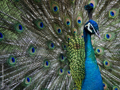 Foto op Canvas Pauw Peacock Feathers