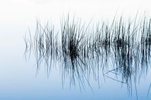 White Reeds