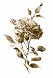 róża akwarela sepii - 199521228