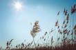 canvas print picture - Riedgras im Sonnenlicht