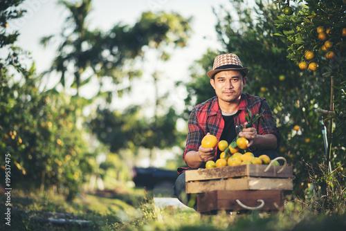 Fotografia Farmer man harvesting oranges in an orange tree field