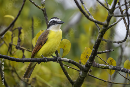 Poster Vogel Great Kiskadee - Pitangus sulphuratus, beautiful yellow perching bird from Cental America, Costa Rica.