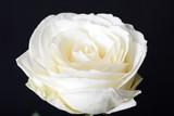 Fototapeta Kwiaty - Biała róża - kwiat