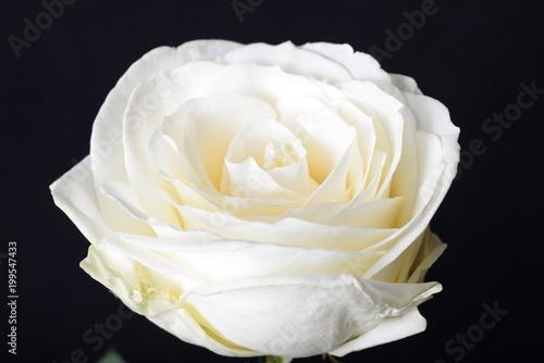 Obraz Biała róża - kwiat - fototapety do salonu