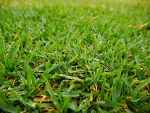 Sir Walter Buffalo Lush Green Lawn Grass Texture
