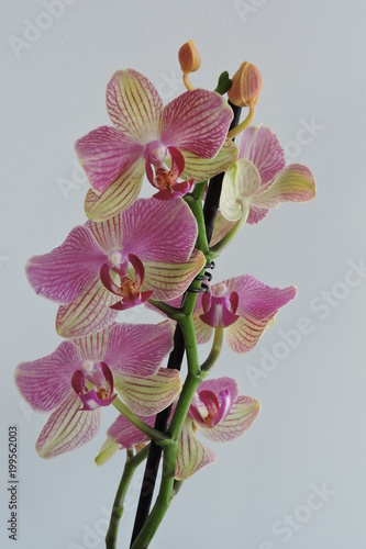 Pink and yellow orchids, white background - 199562003
