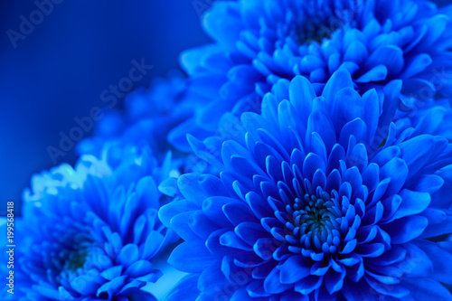 Tuinposter Bloemen Blue floral background of flowers Chrysanthemum. Blank space for writing the text. Template for a holiday card. Element of design.